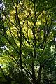 Acer shirasawanum 'Aureum' JPG1a.jpg