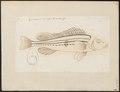 Acerina schraetzer - 1774-1804 - Print - Iconographia Zoologica - Special Collections University of Amsterdam - UBA01 IZ12900098.tif