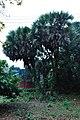 Acharya Jagadish Chandra Bose Indian Botanic Garden - Howrah 2011-02-20 1579.JPG