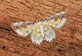 Acolutha pictaria (Geometridae- Larentiinae) (5734400639).jpg