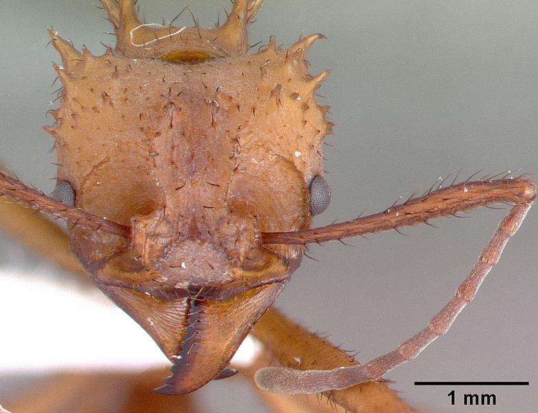File:Acromyrmex octospinosus psw7796-21 head 1.jpg