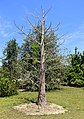 Adansonia suarezensis - Fruit and Spice Park - Homestead, Florida - DSC09036.jpg