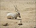Addax-Jerusalem-Biblical-Zoo-IZE-586.jpg
