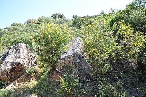 Adenocarpus telonensis 4