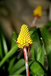 Aechmea calyculata 04.jpg