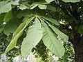 Aesculus hippocastanum bladeren.jpg
