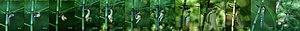 Ecdysis - Image: Aeshna cyanea freshly slipped L2