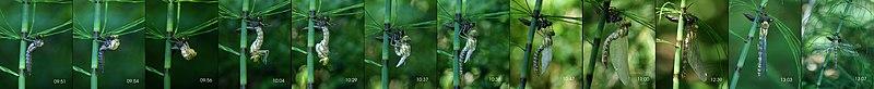 Aeshna cyanea freshly slipped L2.jpg