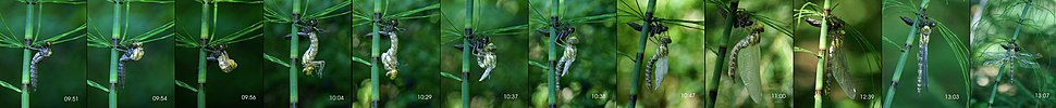 This southern hawker dragonfly molts its exoskeleton several times during its life as a nymph; shown is the final molt to become a winged adult (eclosion).
