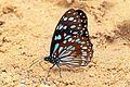 African blue tiger (Tirumala petiverana) underside.jpg