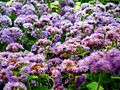 Ageratum houstonianum from Lalbagh Flower Show August 2012 4652.JPG