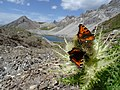 Aglais urticae above Lai Grond, Surses, Switzerland 3.jpg