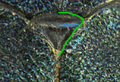 Agrilus cyanescens detail6.png