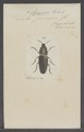 Agrypnus - Print - Iconographia Zoologica - Special Collections University of Amsterdam - UBAINV0274 023 15 0002.tif