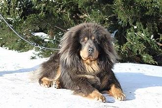 Tibetan Mastiff - Tibetan Mastiff from Ukraine 77 cm rise
