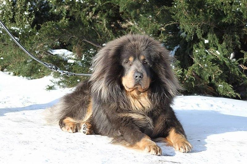 File:Aigrette Velikiy (Tsaluma say strazce z Tibetu x Legenda Tibeta vlastelin kolets).jpg
