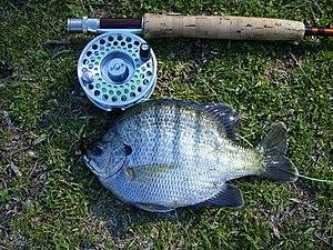 Panfish - A typical panfish, a bluegill from an Alabama farm pond.
