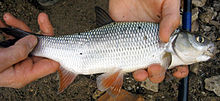 Язь (лат.  Leuciscus idus) - рыба семейства карповых, имеет внешнее...