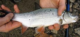 Язь - Рыба Моей Мечты