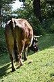 Albères - Vache 06.jpg