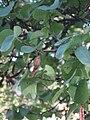 Albero di Giuda - foglie.jpg