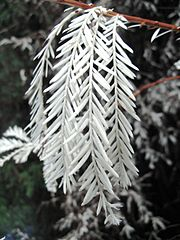 An 'albino' Sequoia sempervirens exhibiting lack of chlorophyll