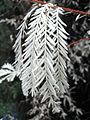 Albino redwood.jpg