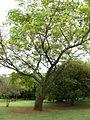 Albizia versicolor tree.jpg