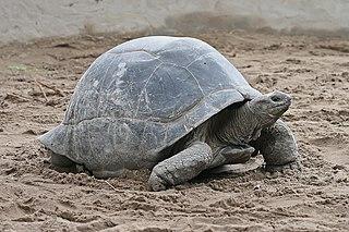<i>Aldabrachelys</i> genus of reptiles
