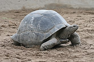 An Aldabra giant tortoise with paired gular scutes visible beneath its neck.