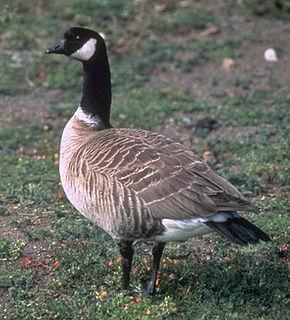 Cackling goose species of bird