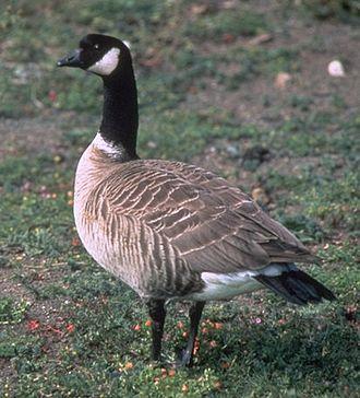 Cackling goose - Aleutian cackling goose Branta hutchinsii leucopareia