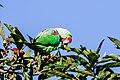 Alexandrine parakeet (Psittacula eupatria) 02.jpg