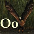Alfabet zwierząt - literka O.png