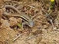 Algerian Sand Lizard (Psammodromus algirus) (14502057351).jpg