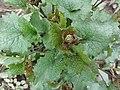 Alliaria petiolata SCA-110429-02.jpg