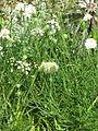 Allium ericetorum (20617054375).jpg