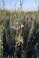 Allium paniculatum (inflorescence) 1.jpg