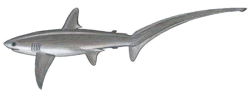 Squali delle acque italiane for Disegno squalo