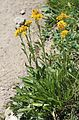 Alpine goldenrod Solidago multiradiata clump.jpg