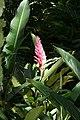 Alpinia purpurata 39zz.jpg