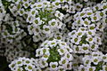 Alyssum white color at lalbagh7327.JPG