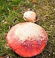 Amanita muscaria (8071931191).jpg