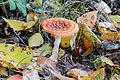 Amanita muscaria - fly agaric - fly amanita - Roter Fliegenpilz - 02.jpg