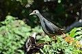 Amaurornis phoenicurus (1) - Siau Island.jpg
