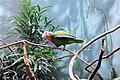 Amazona leucocephala -Bronx Zoo-4.jpg