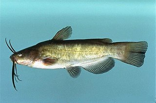 Brown bullhead species of fish