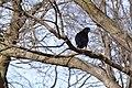American Crow (25233021663).jpg