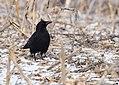 American Crow (32249381056).jpg