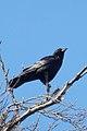 American Crow (Corvus brachyrhynchos) - Kitchener, Ontario.jpg